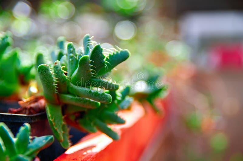 玫瑰华饰多汁植物Faucaria 植物的叶子有惊恐分枝的是掠食性动物的牙 背景被弄脏的绿色 免版税库存照片