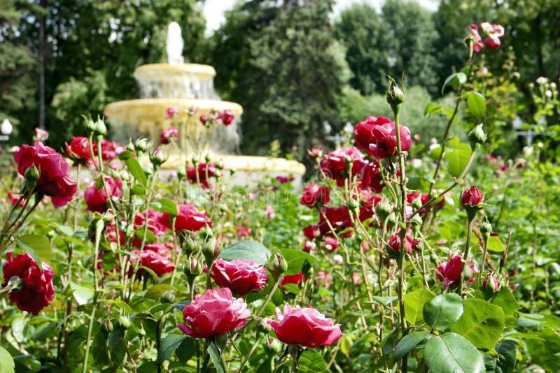 玫瑰和喷泉 免版税库存照片