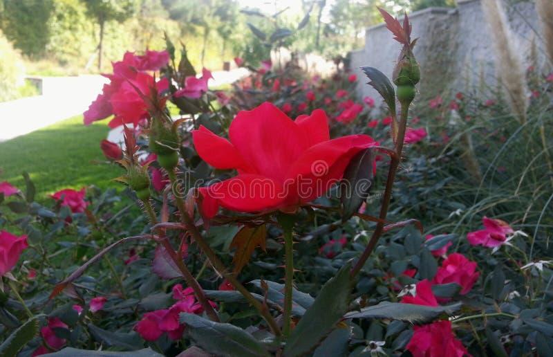 玫瑰园,室外与阳光和bokeh 免版税库存图片