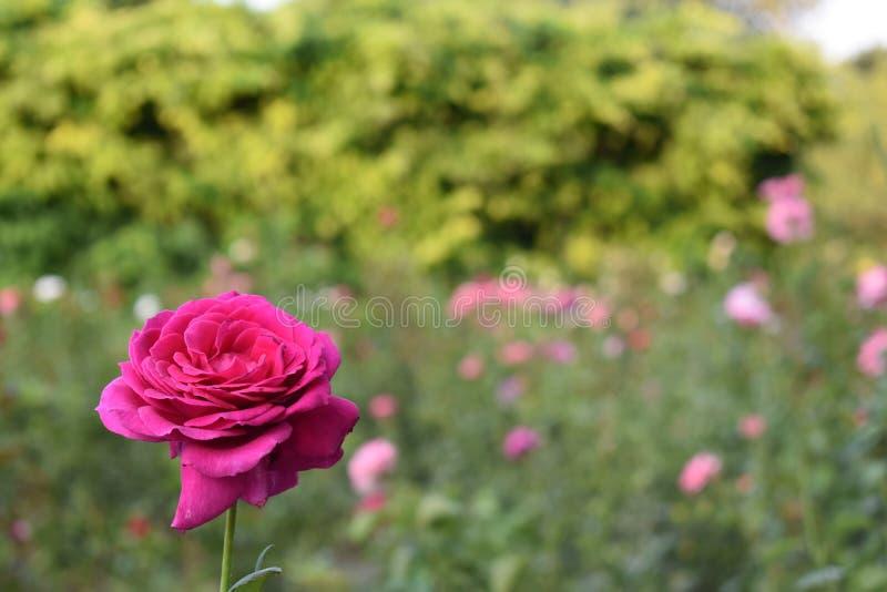 玫瑰园 免版税库存图片
