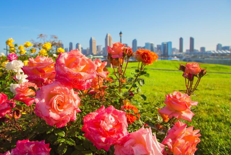 玫瑰在圣地亚哥 在花的重点 库存图片