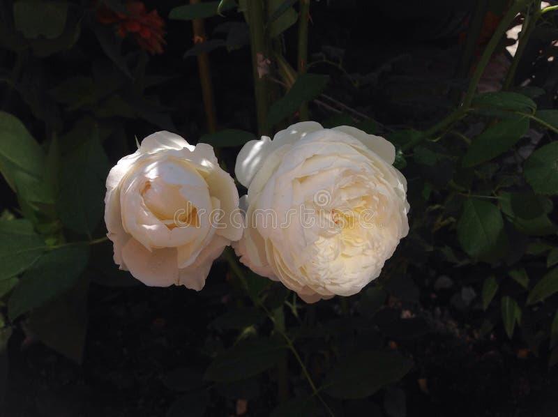玫瑰在柔和的凉快的清早琳内 免版税库存图片