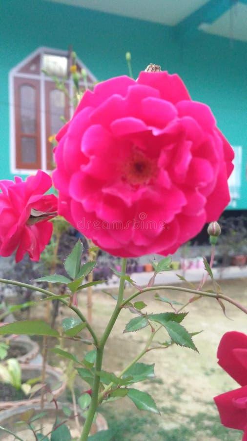 玫瑰是红色的 免版税库存图片