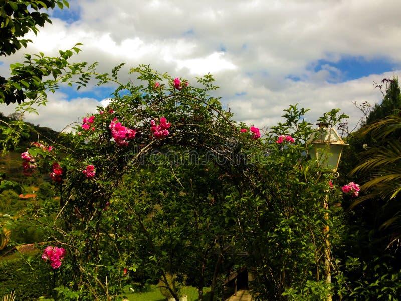 玫瑰曲拱在绽放的 库存图片