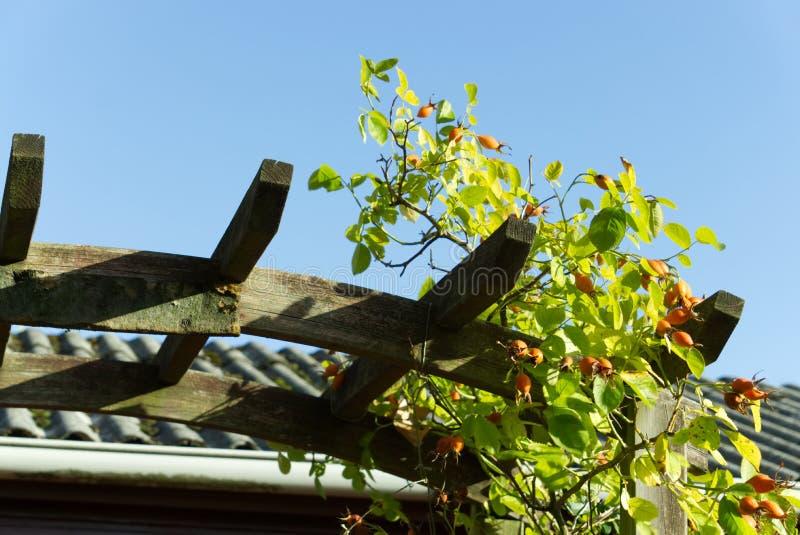 玫瑰果灌木在庭院里 免版税库存图片