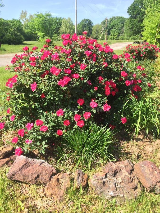 玫瑰灌木的看法在东部得克萨斯的 免版税库存照片