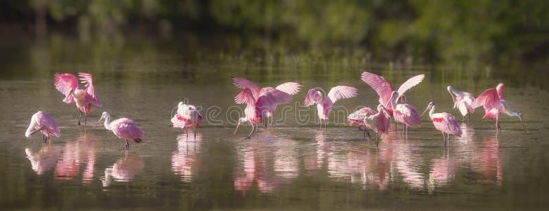 玫瑰琵鹭水游盘 库存图片