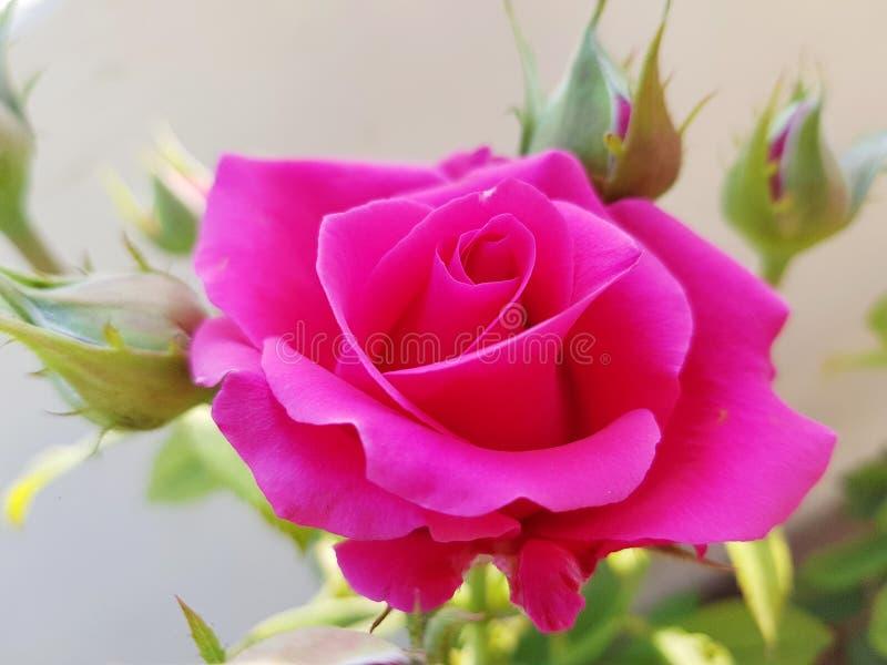 玫瑰由每一位女性在世界上爱 库存照片