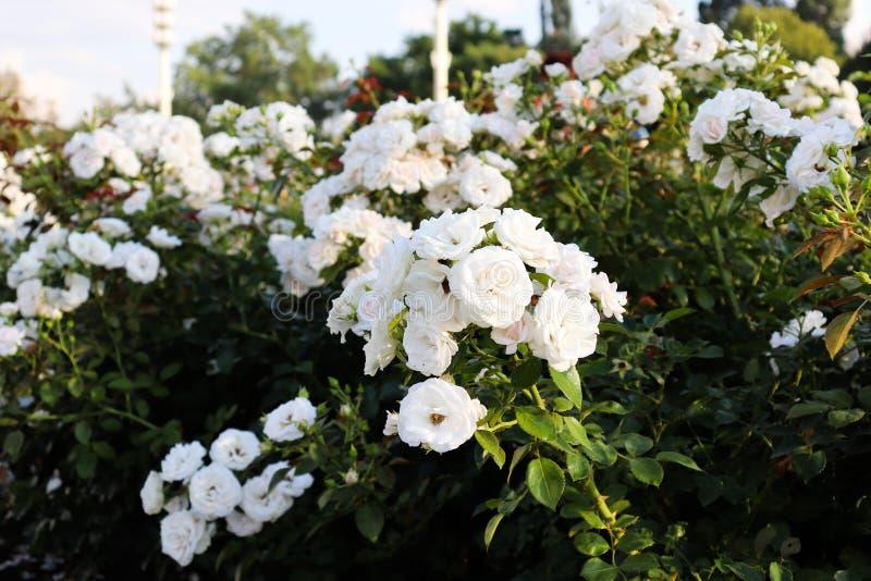 玫瑰白色花束  有绿色叶子的玫瑰丛 库存图片