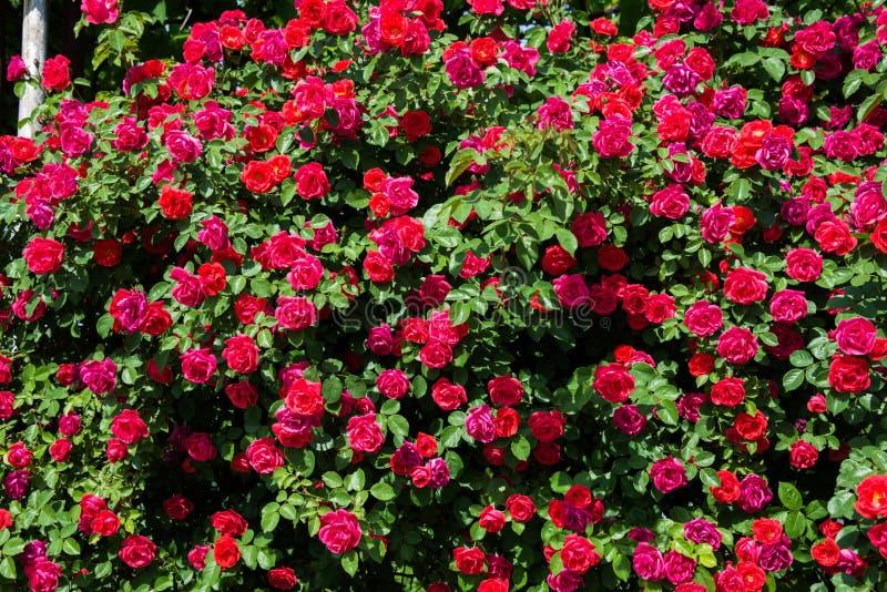 玫瑰的布什在明亮的 库存图片