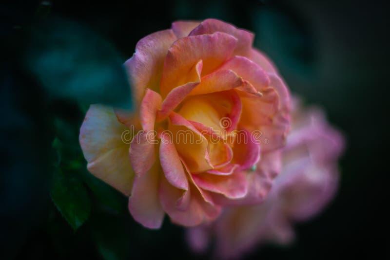 玫瑰的画象 库存图片