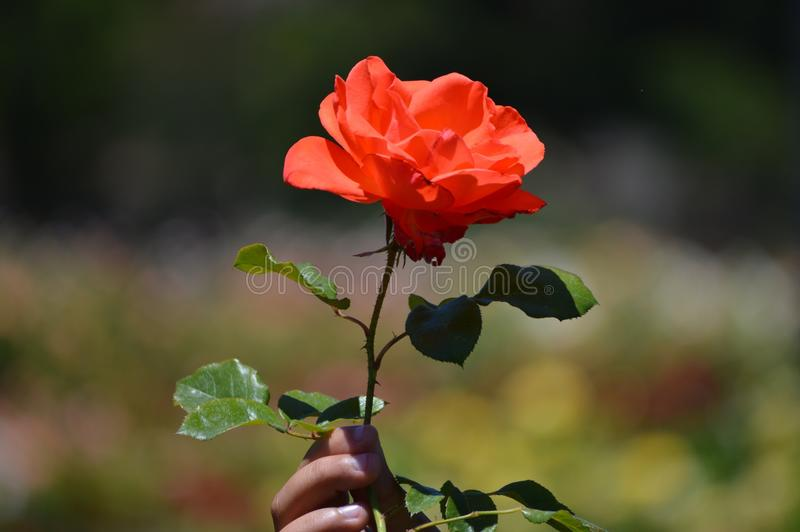 玫瑰的秀丽 库存图片