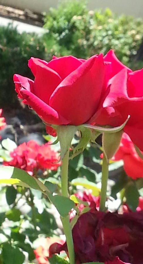 玫瑰的秀丽 库存照片