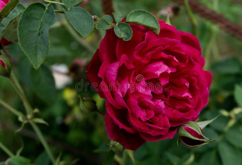 玫瑰的美好的颜色 免版税库存照片