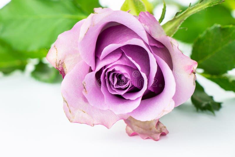 玫瑰的阴物 库存图片