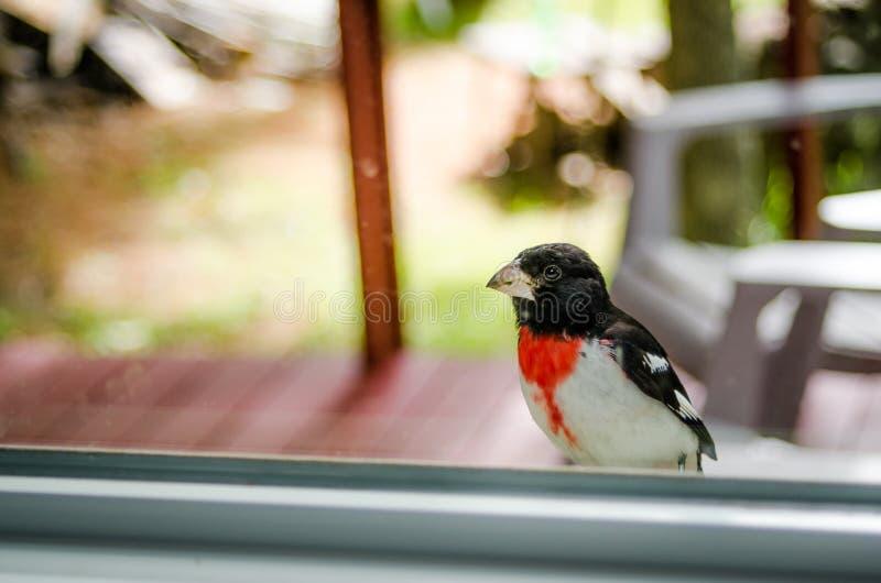 玫瑰红的Breasted蜡嘴鸟- Pheucticus ludovicianus -坐我的窗口基石并且调查房子 库存图片