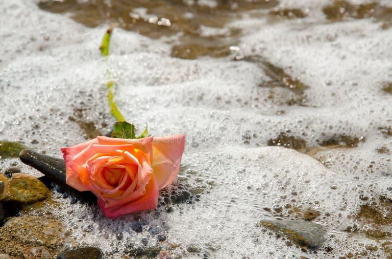 玫瑰色上升了 库存图片