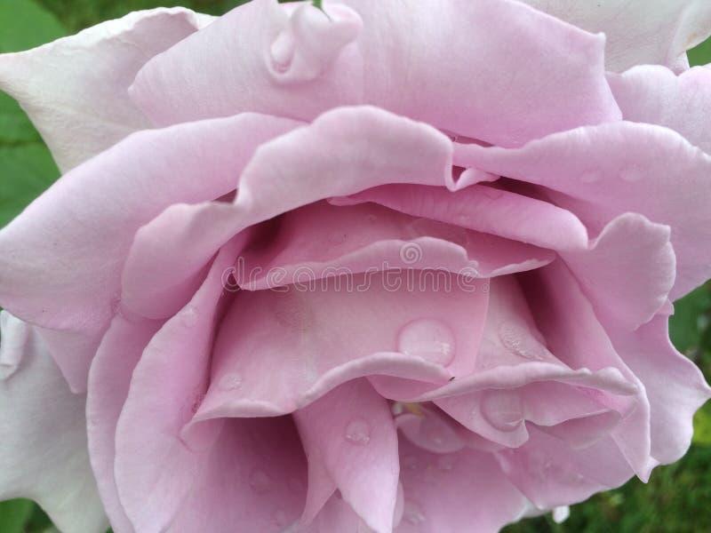 玫瑰色上升了 免版税库存照片