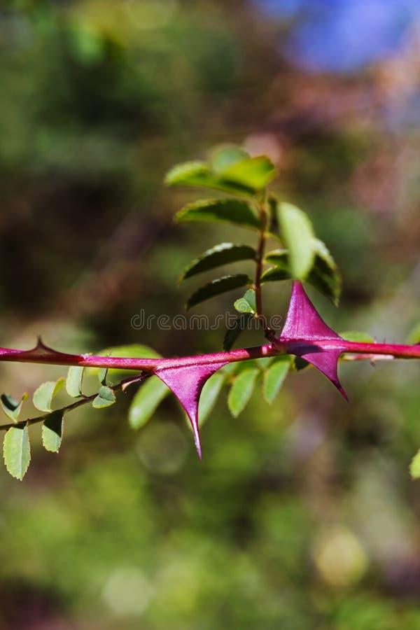 玫瑰色植物的红色刺 图库摄影