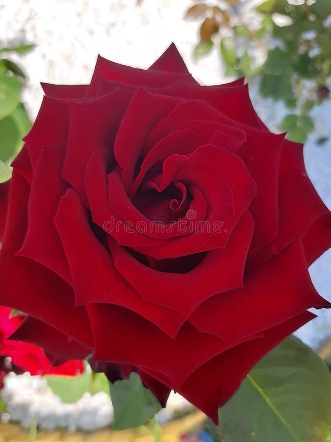 玫瑰色特写镜头红色猩红色 免版税库存图片