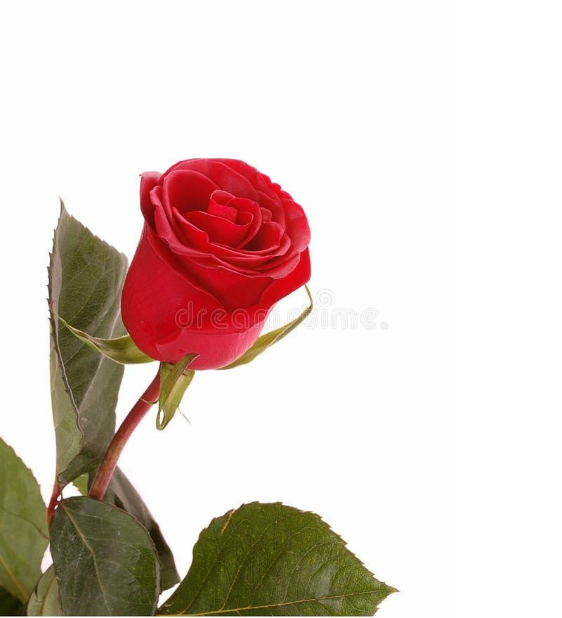 玫瑰色猩红色 库存照片