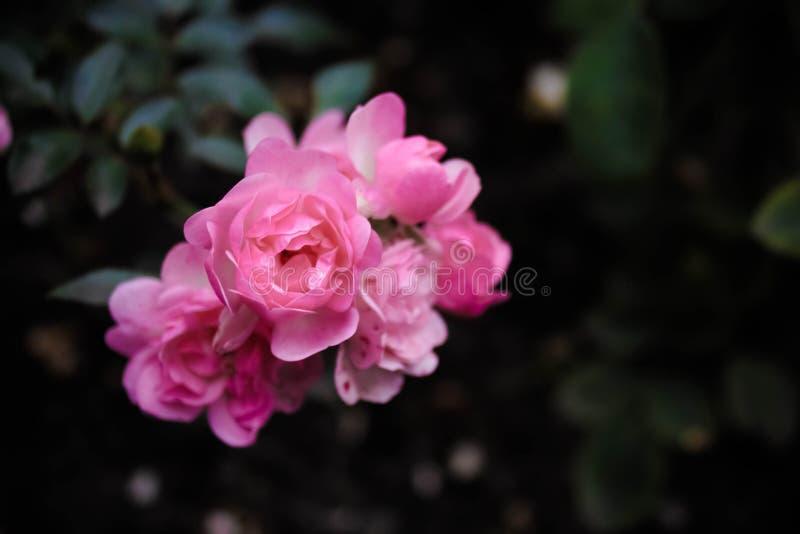 玫瑰色玫瑰 免版税库存照片