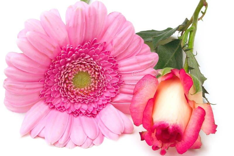 玫瑰色百日菊属 免版税库存图片