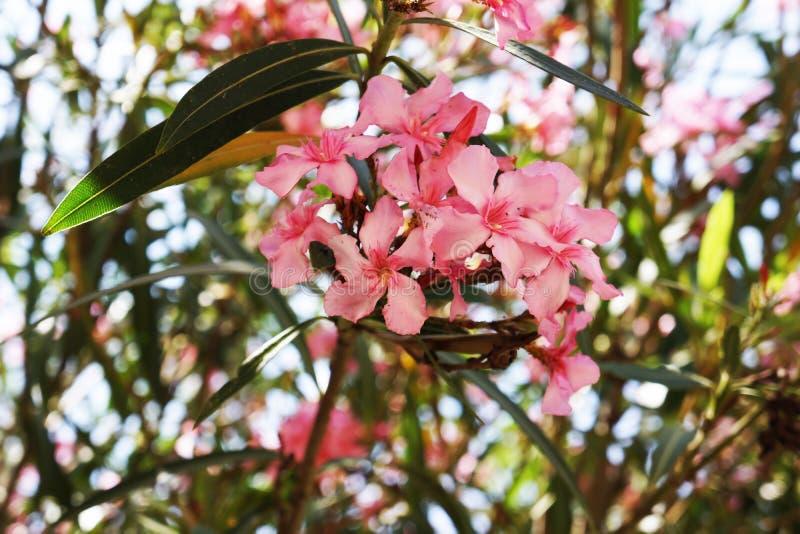 玫瑰色的灌木灌木 免版税图库摄影