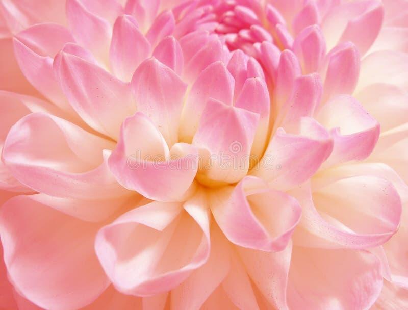 玫瑰色细致的花 免版税库存图片