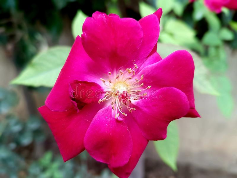 玫瑰色花的美好的图片 库存照片
