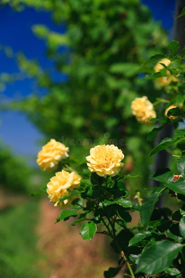 玫瑰色行葡萄园 免版税图库摄影