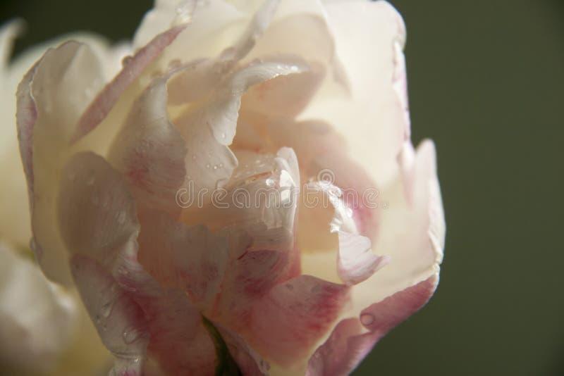 玫瑰色郁金香花  免版税图库摄影