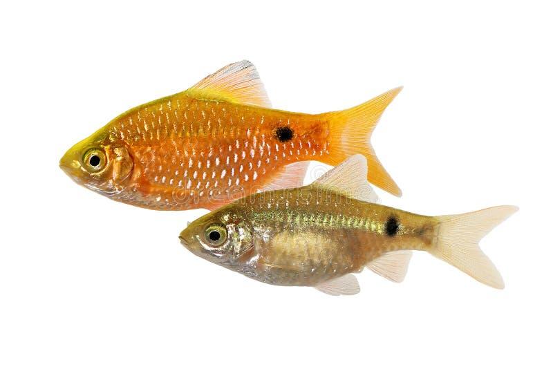 玫瑰色巴勃男性Pethia conchonius淡水热带水族馆鱼 免版税图库摄影