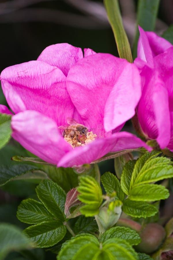 玫瑰色rugosa 库存照片