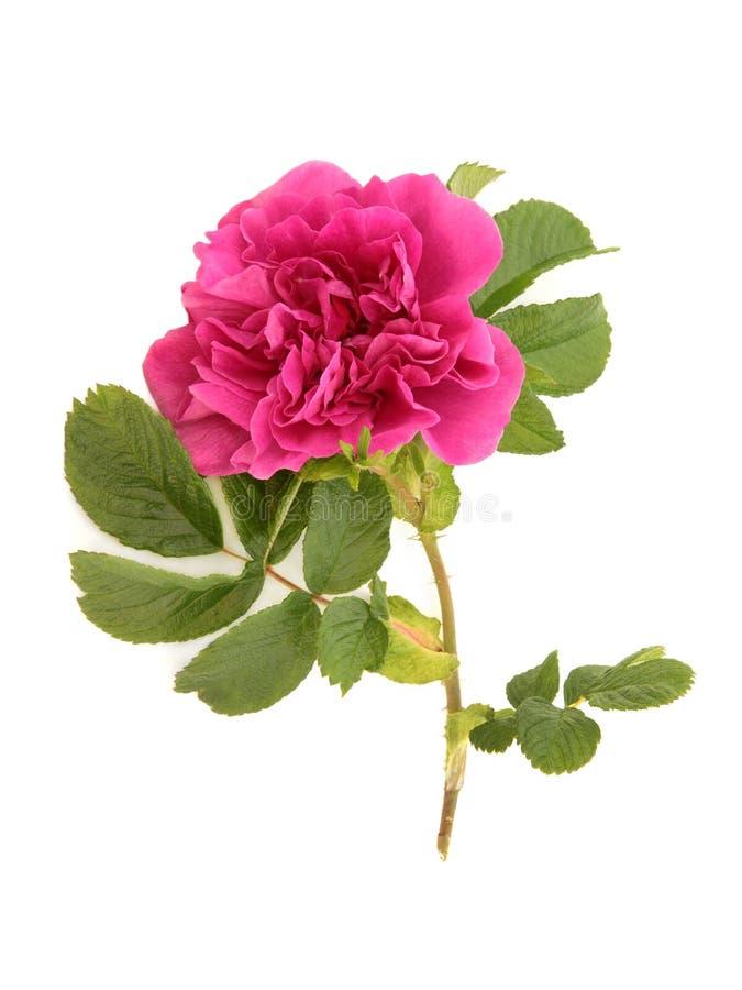 玫瑰色rugosa 库存图片
