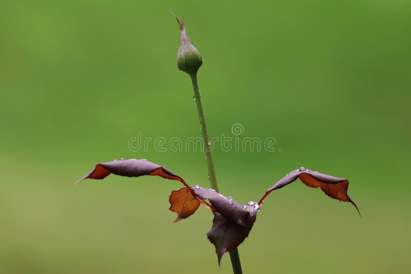 玫瑰花蕾以后在雨中 图库摄影