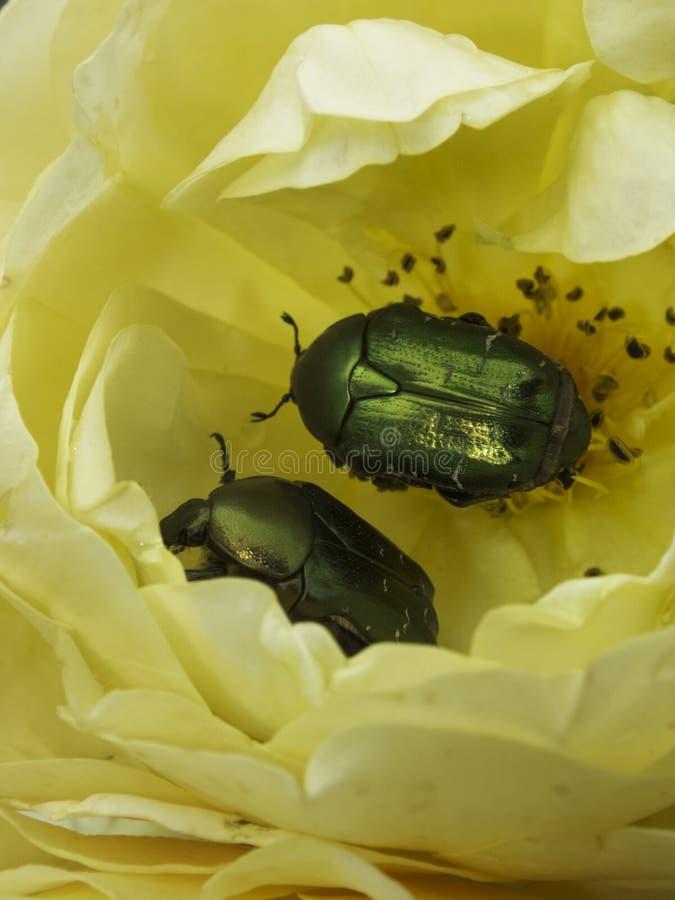 玫瑰金龟子 免版税图库摄影