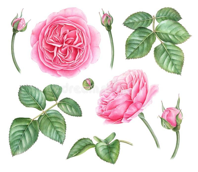 玫瑰,芽,叶子的手拉的水彩例证 皇族释放例证