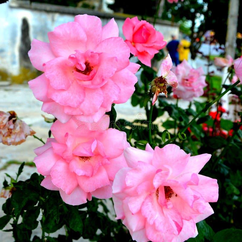 玫瑰 好的花在庭院里盛夏,在一个晴天 库存图片