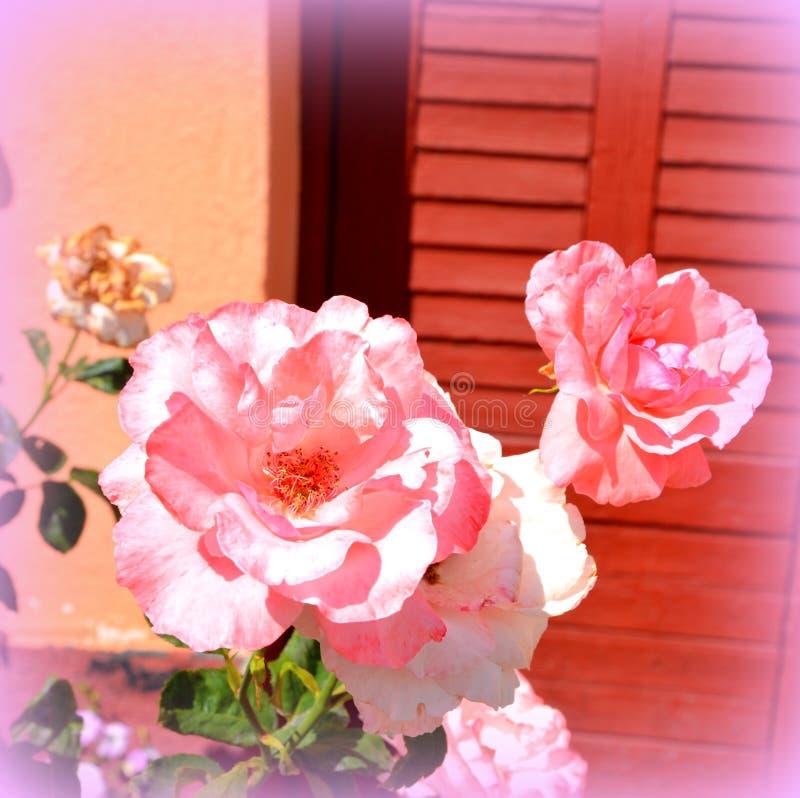 玫瑰 好的花在庭院里盛夏,在一个晴天 图库摄影