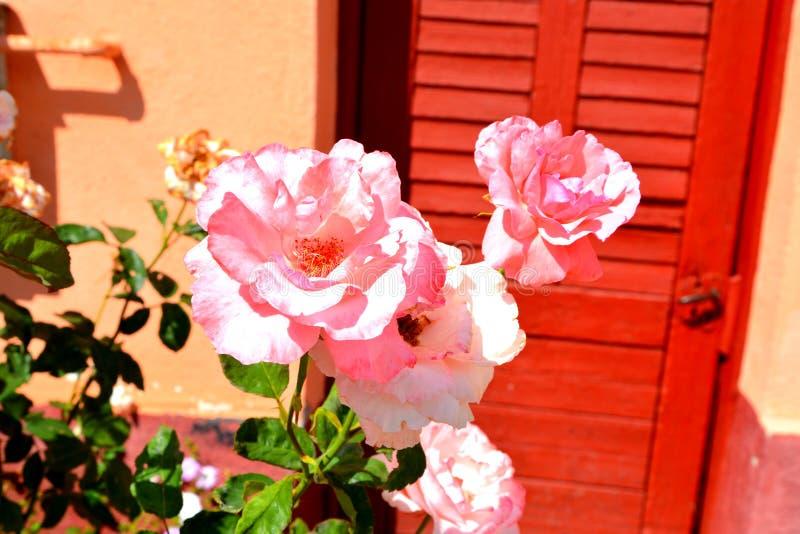 玫瑰 好的花在庭院里盛夏,在一个晴天 免版税图库摄影