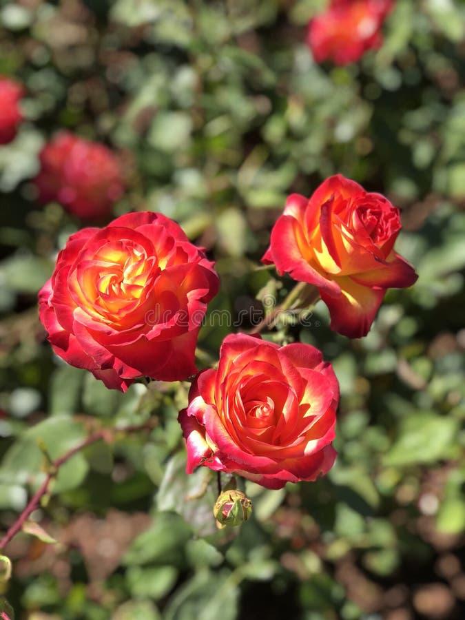 玫瑰 免版税库存图片