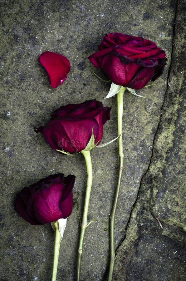 玫瑰 库存照片