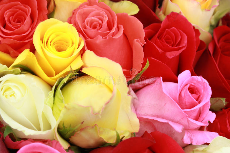 Download 玫瑰 库存图片. 图片 包括有 卖花人, 本质, 玫瑰, 查出, bossies, 相当, 礼品, 植物群 - 59103621