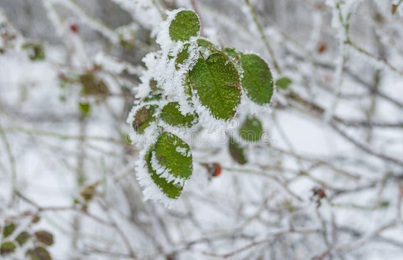 玫瑰canina叶子在树冰下的在冬景花园 库存图片