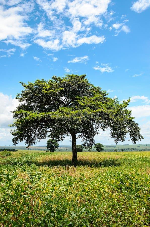 环境美化与一棵树在大豆种植园中的中部 库存图片