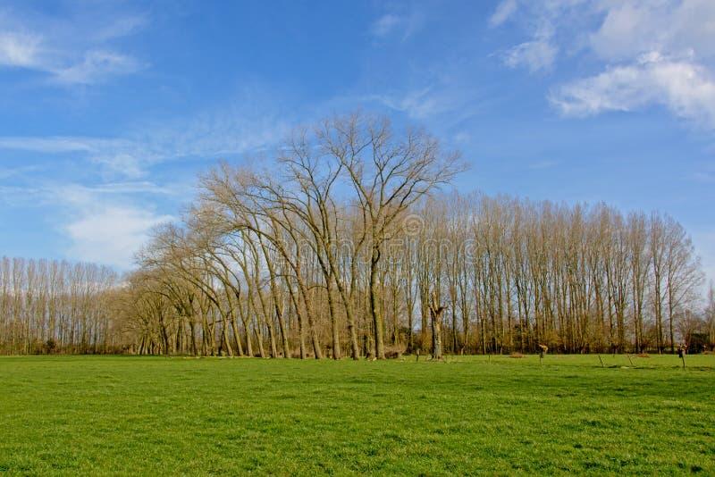 环境美化与豪华的绿色草甸和高aldertrees在佛兰芒乡下 免版税库存图片