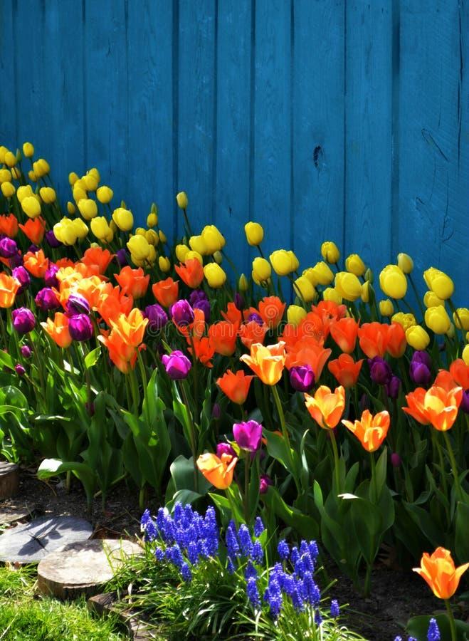 环境美化与郁金香的五颜六色的春天 免版税库存图片