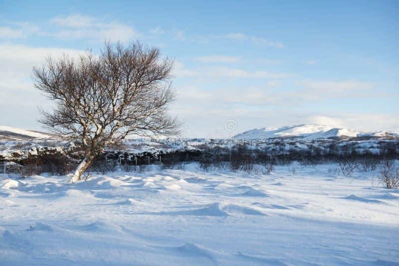 环境美化与雪沙丘和一棵偏僻的冬天树,冰岛 免版税库存照片