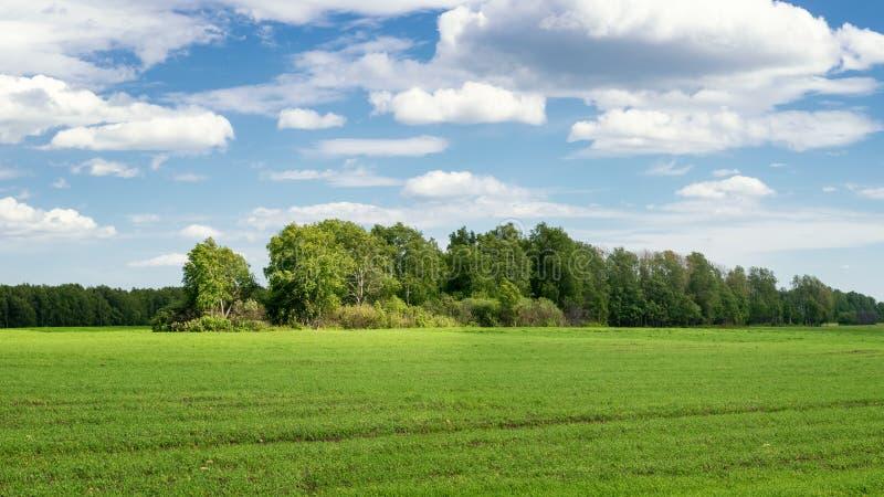环境美化与领域的在夏天,俄罗斯桦树树丛 图库摄影